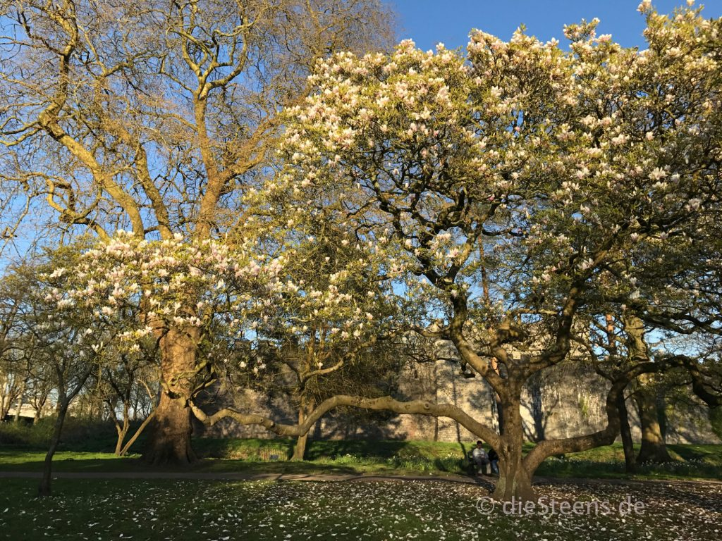 Magnolienblüte Butepark - Cardiff